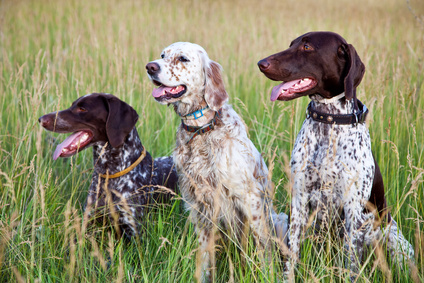 chiens-chasse-epagneul